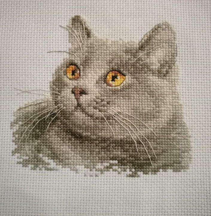 Британский кот - Алиса 1.jpg